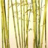 Bambus 16