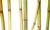 Bambus 17