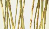 Bambus 18